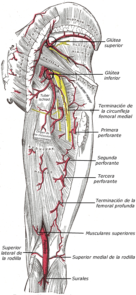 Arterias para los isquiotibiales