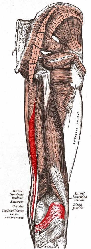 Anatomia del musculo semimembranoso
