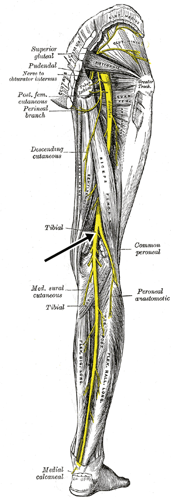 Nervio tibial rama del ciatico