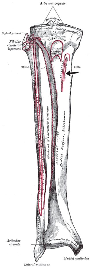 Insercion tibial del musculo semitendinoso