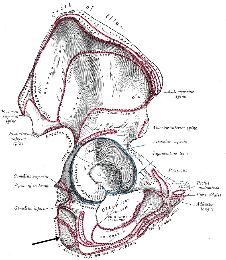 Origen del musculo biceps femoral