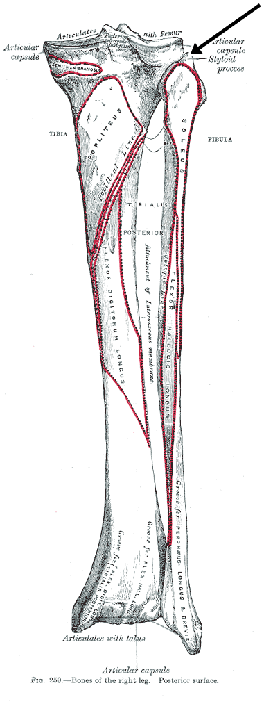 Insercion peronea del musculo biceps femoral