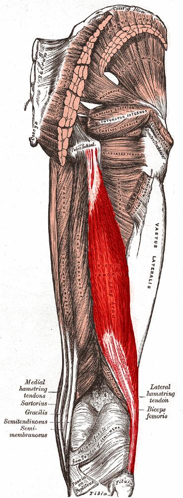 Anatomia del musculo biceps femoral