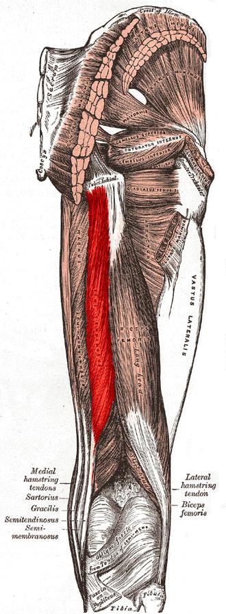 musculo semitendinoso del muslo