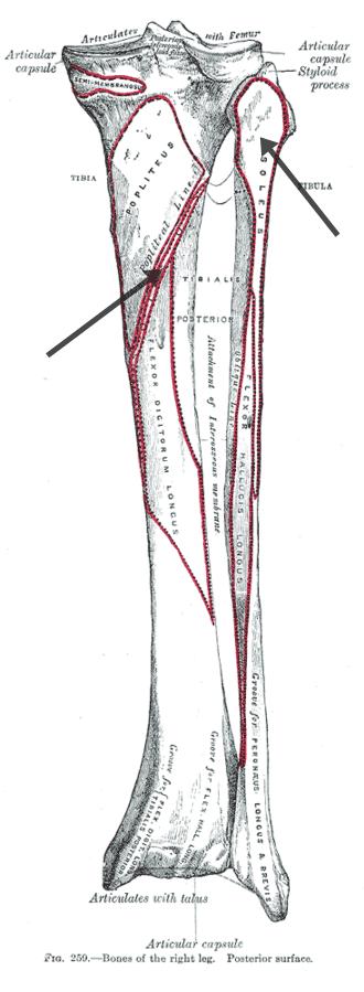 origen del soleo en la pierna