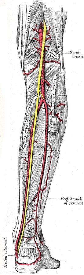 arterias del musculo soleo