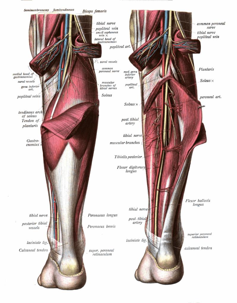 irrigacion e inervacion del triceps sural