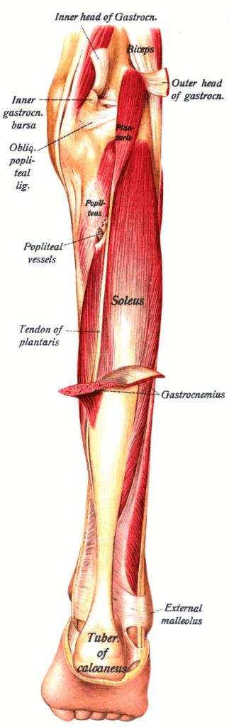 musculos de la pierna que forman el triceps sural
