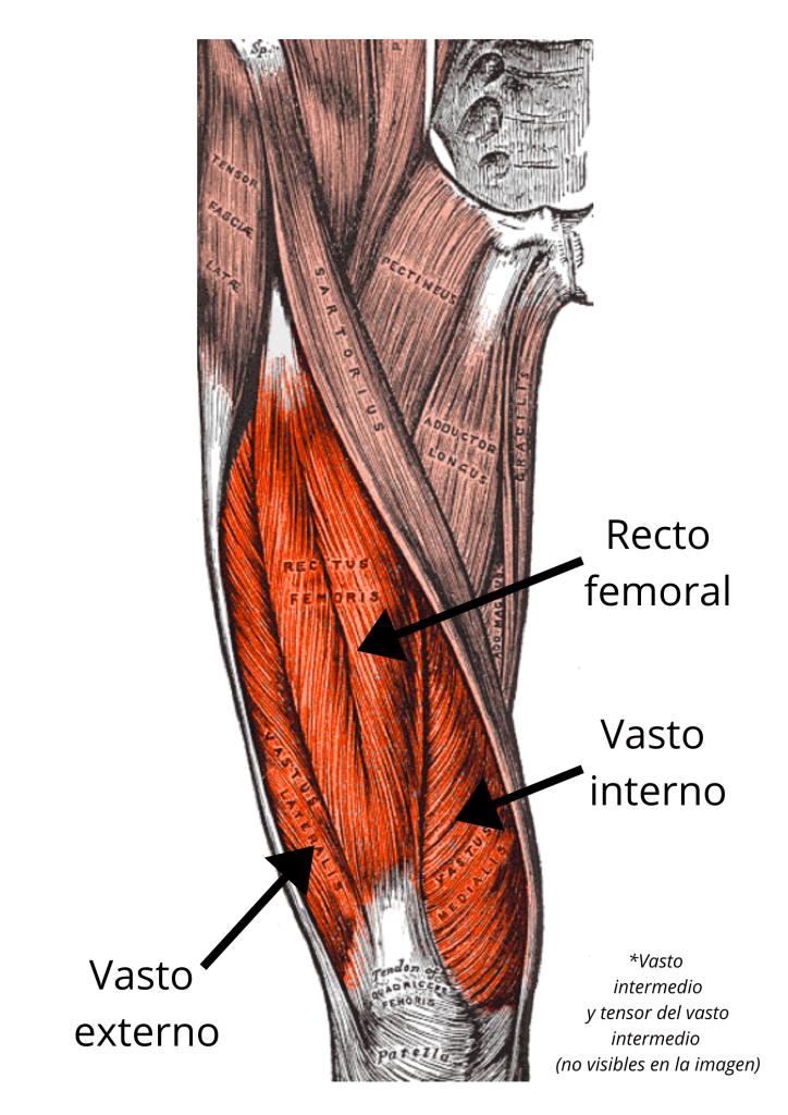 Los vientres musculares del cuádriceps