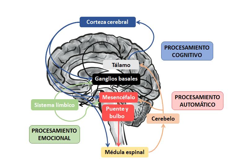 Procesamiento cognitivo, emocional y automático de la locomoción humana